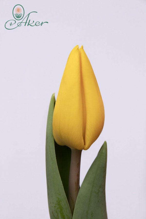 Beautiful yellow tulip Yellow Flight