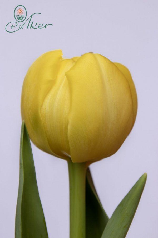 Beautiful yellow tulip Yellow Margarita