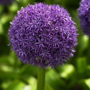 Purple Allium Globemaster