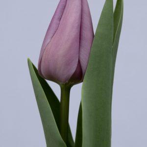 Beautiful purple tulip Alibi