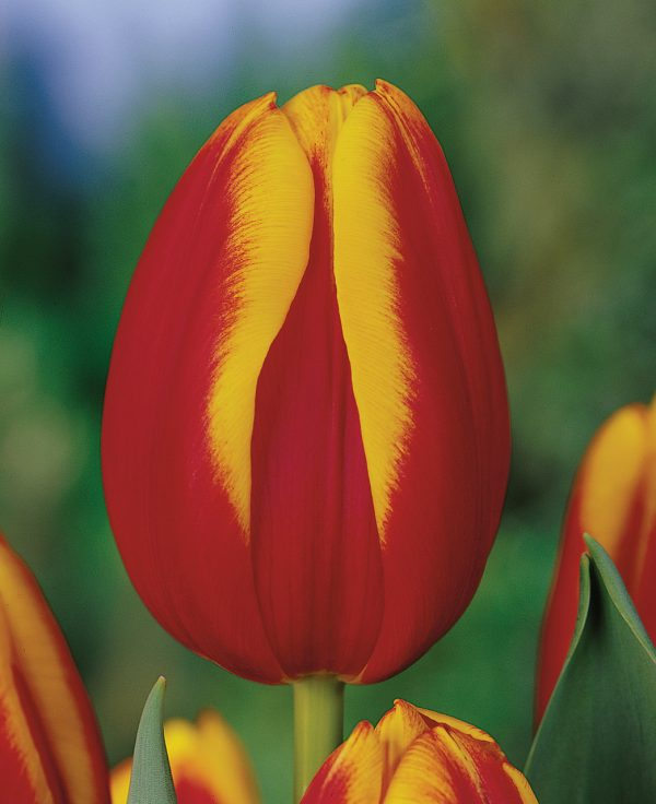 Red and Yellow tulp Andre Citroen