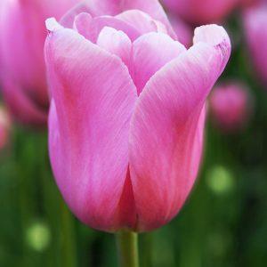 Elegant pink tulip Mistress