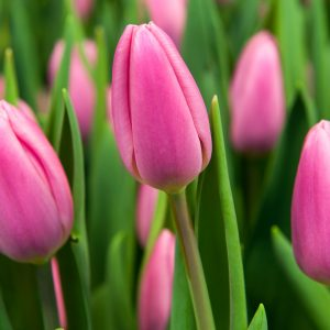 Beautiful dark pink tulip 'Sweet Telle'