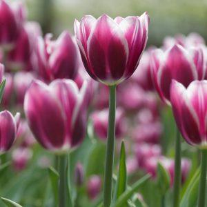 Beautiful purple wit tulip 'Synaeda Blue'