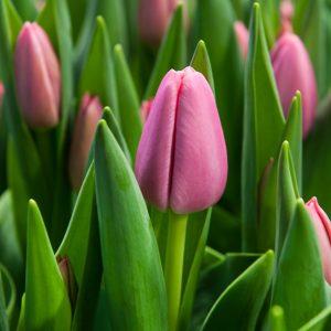 Beautiful pink tulip 'Tresor'