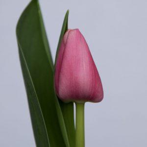 Single pink tulip Tresor