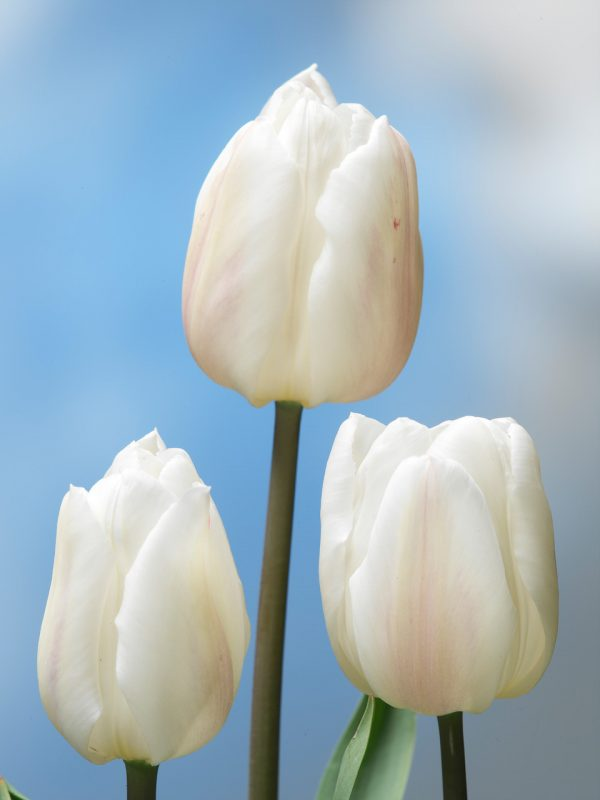 Beautiful strong white tulip 'White Marvel'