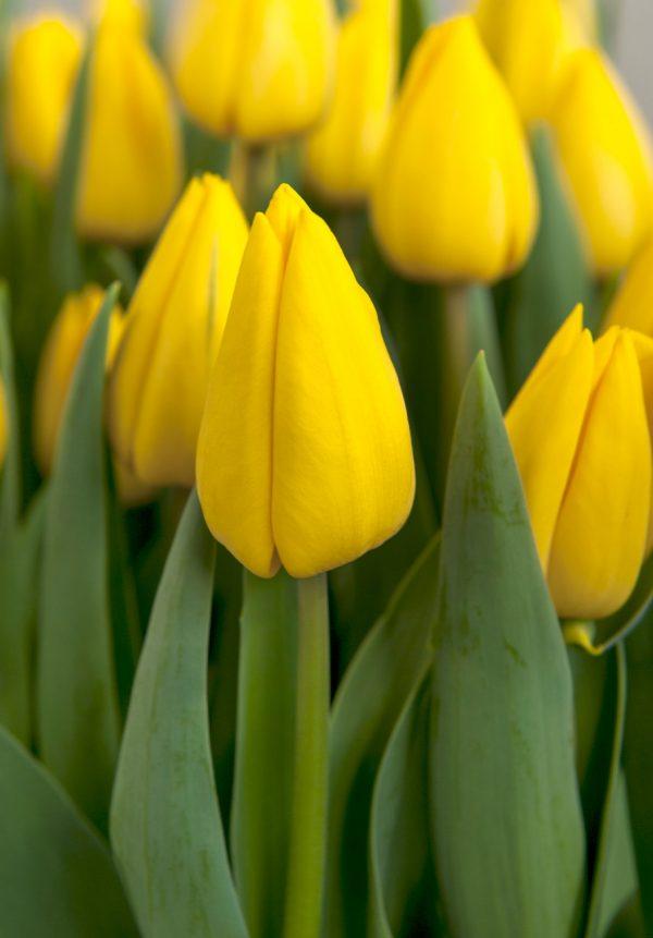 Beautiful yellow tulip 'Yellow Master'