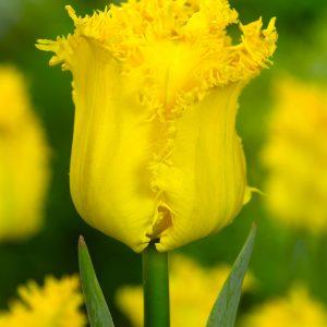 Beautiful fringed yellow tulip 'Yellow Valery'