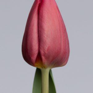 Beautiful dark red tulip: Anita Witzier
