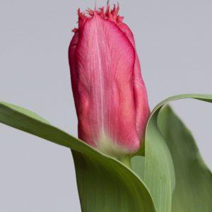 Fringed red tulip