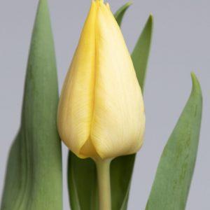 Beautiful light yellow single tulip