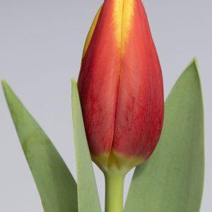 Beautiful red/yellow tulip Tarzan
