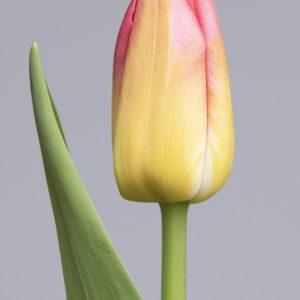 Stunning light yellow/pink tulip Tom Pouce