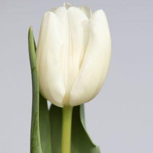 Single white tulip with leaf