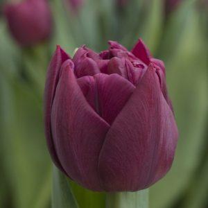 Dark purple tulip Alison Bradley