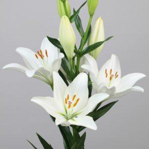 Beautiful fine white lily