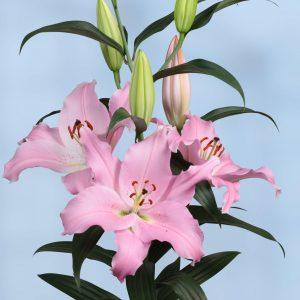 Beautiful big pink lily