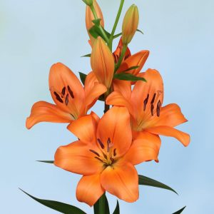 Eniac, orange flowering lily