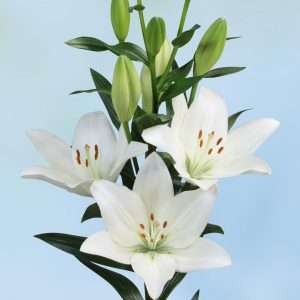 Strong white flowering lily