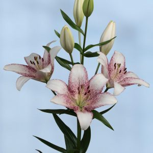 Beautiful airbrushed white/pink flowering lily