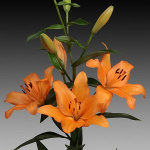 Orange flowering lily