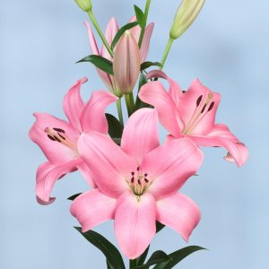 lily with big pink flowers