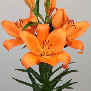 Beautiful orange flowering lily
