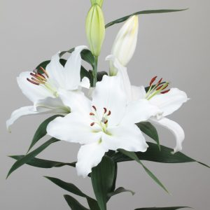 Beautiful white lily with big flowers