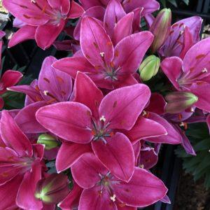 Beautiful red flowering lilies
