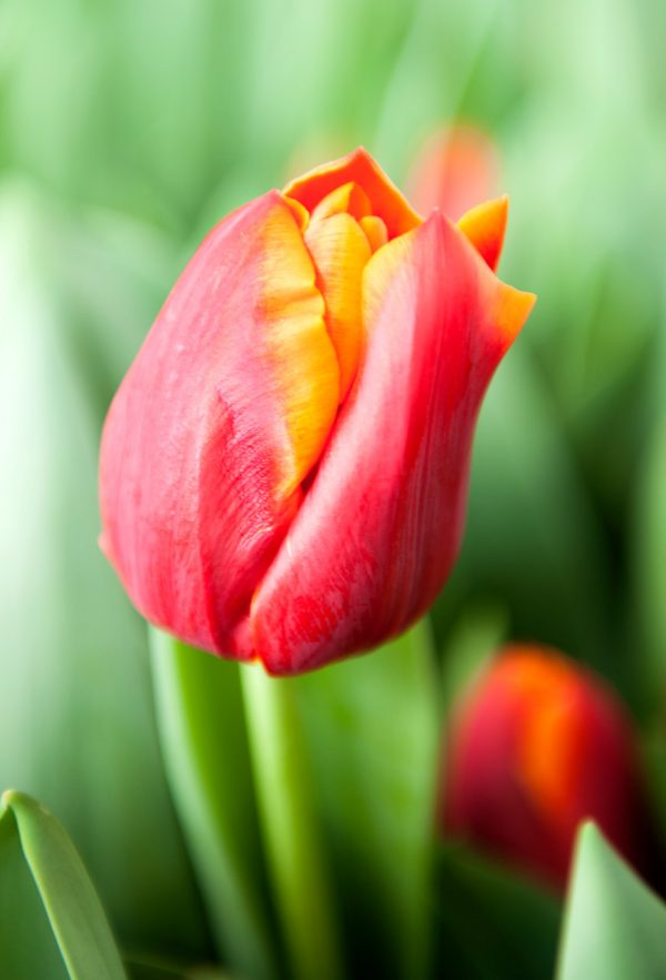 Close up with red/yellow tulip