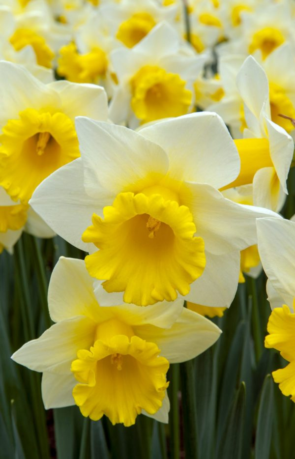 White and yellow daffodill field
