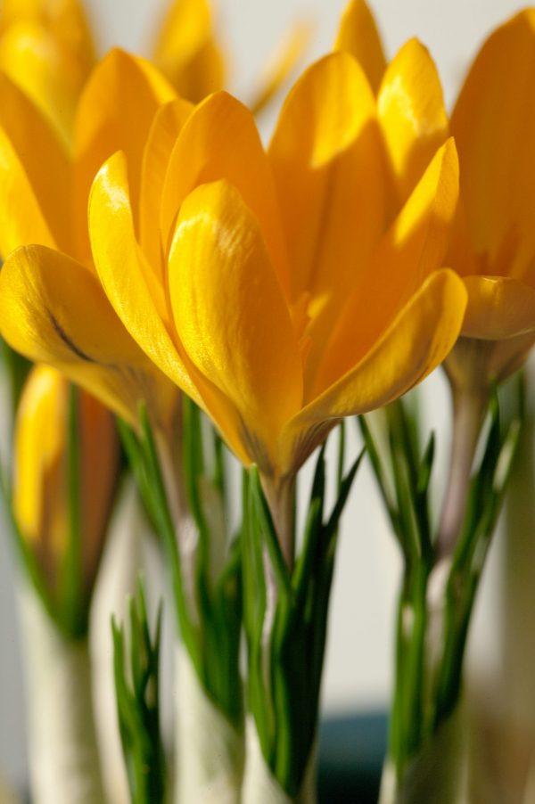 Close up Yellow Crocus Golden Yellow