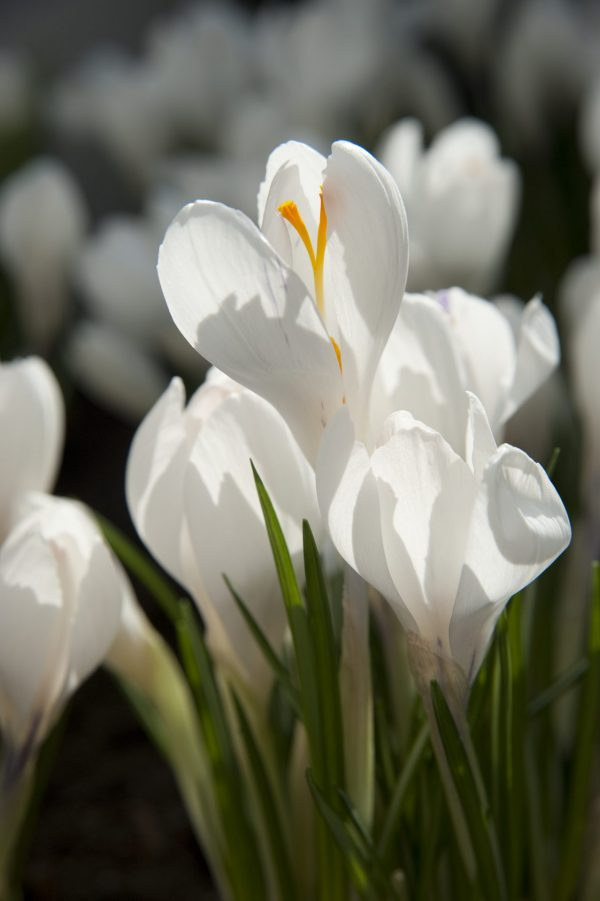 Close up with white crocus named Jeanne d'Arc