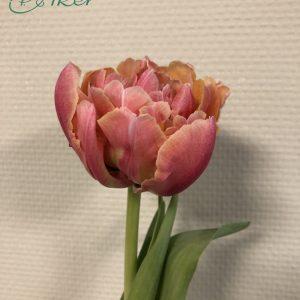 Single double salmon colored tulip