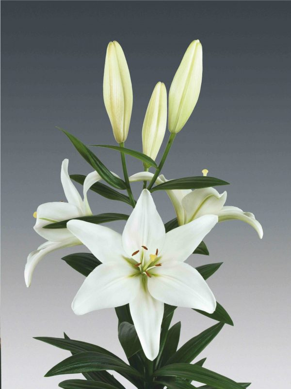 Beautiful white lily with 6 buds