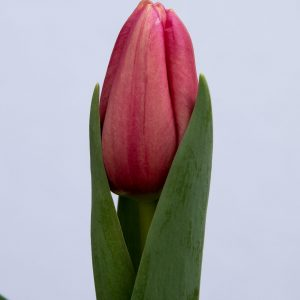 Beautiful pink tulip Ace Pink