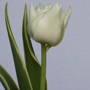 Single white tulip The Edge