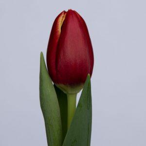 Single red tulip Tirana