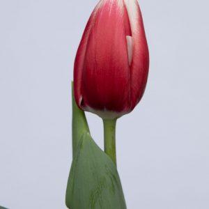 Single red tulip Universum